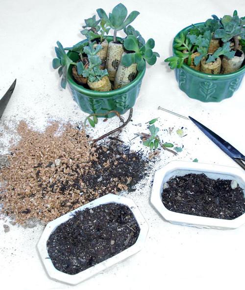 succulent gifties